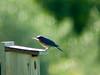 shimmer (nosha) Tags: blue usa bird beautiful beauty birds june newjersey spring nj mercer 300mm bluebird tamron 4h avian mercercounty pennington 2010 lightroom penningtonnj 300mmf28 nikond200 nosha adaptall 60b nikoncorporation 0mmf0 1250secatf56 spring2010