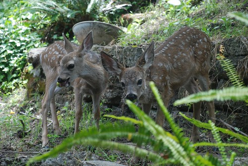 fawns eat apples mike gordon