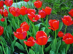 Tulips, close-up