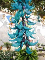 Fleur papillon bleue