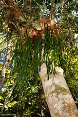 Ophioglossum pendulum - Ribbon Fern