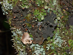 Nephroma resupinatum 'Pimpled Kidney Lichen' (dougwaylett) Tags: canada alberta lichens foliose nephroma nephromaresupinatum hilliardsbayprovincialpark pimpledkidneylichen taxonomy:binomial=nephromaresupinatum