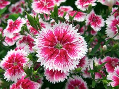 Sweet William Dwarf 美國石竹