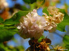 Dombeya burgessiae (Pink Wild Pear) (Martin_Heigan) Tags: camera pink flowers winter wild flower nature natal digital southafrica nikon dof martin bokeh wilde photograph pear bloom flowering d200 blooms dslr peer blooming sterculiaceae blom suidafrika dombeya pienk winterflowering 18200mmf3556gvr blomme heigan ibunda wsnbg pinkwildpear mhsetflowers burgessiae persdrolpeer wildepeer 12june2010 pinkdombeya blommende mhsetbikeh
