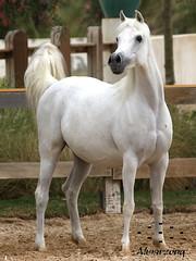 2010 (Almarzouq) Tags: horses horse arab kuwait  bait bader alarab      almarzouq