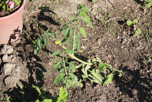 Razzleberry Tomato Plant