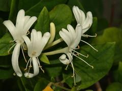 Madreselva (Lonicera japonica) (Javier Garcia Alarcon) Tags: flores flor japonica lonicera madreselva lonicerajaponica madreselvadeljapón