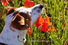 Smells Nice (JRT ) Tags: red dog sun green field grass fur jack nose eyes nikon jrt russell head seed sunny ears terrier jackrussell poppy belle collar jackrussellterrier d90 brownhead johnwarwood flickrjrt
