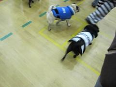 Pugs! (redfive99) Tags: pug pugoween