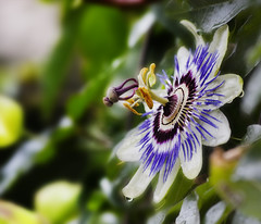 Passiflora (Passion Fruit Flower) (Hadi Photography) Tags: life flowers flower art nature beauty garden photography arts passion passiflora  safa hadi    plantplants     kadhim  safakadhim hadiphotographyart hadiphotographyarts hadiphotographyandart    safaphotography safaphotographyandart safaphotographyart safaphotographyarts