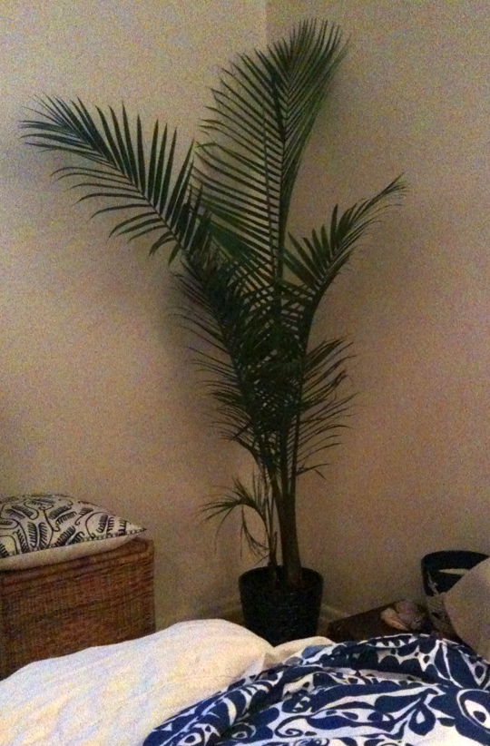 large magesty palm in the master bedroom corner