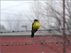 Tropical Kingbird (Tyrannus melancholicus) (Crappy Wildlife Photography) Tags: bird yellow washington wire state bellingham barbwire barbed flycatcher birdonawire kingbird tropicalkingbird tyrannusmelancholicus