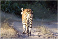 Tigress on her morning walk