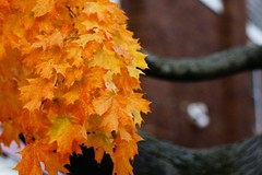 ~~~MAPLE LEAVES DANCING IN THE AUTUMN WIND~~~ (hotes trinkets/DaydreamingKat) Tags: autumn trees orange fall leaves maple sooc straightfrommycamera sonyalphadslra700 absolutelynatural hotestrinkets autumnnovember2nd