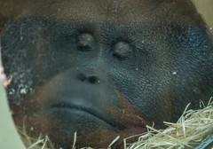 DSC00533 (sylviagreve) Tags: 2017 apenheul orangutan apeldoorn gelderland netherlands nl