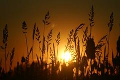 Grass silhouette (dylan583) Tags: saskatchewan sonydslra700 sonyalpha sonya700 tamronsp45670300usd tamron telelphotolens telephoto sunset backlit silhouette slough plant grass