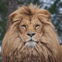photomaton (rondoudou87) Tags: pentax k1 parc zoo reynou lion portrait face visage nature natur wildlife wild smcpda300mmf40edifsdm sauvage regard look