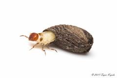 Cryptocephalus sp. (Hyönteismies) Tags: chrysomelidae coleoptera cryptocephalussp beetle dettk hyönteinen insect kovakuoriainen kuoriainen leafbeetle lehtikuoriainen lehtikuoriaiset pkoti selkärangaton ötökkä
