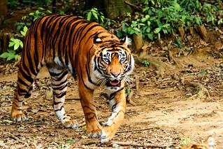 Dell of Female Sumatran Tiger : スマトラトラのデル