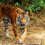 Dell of Female Sumatran Tiger : スマトラトラのデル thumbnail