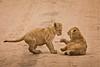 Lions of Maasai Kopjes 445 (Grete Howard) Tags: bestsafarioperator bestsafaricompany africa africansafari africanbush africananimals whichsafaricompany whichsafarioperator tanzania serengeti animals animalsofafrica animalphotos lions lioncubs maasaikopjes kopjes kopje