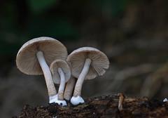 """"""" Psathyrella melanthina """" (carlespoveda) Tags: seta higuera hongo buol maderamuerta psathyrellamelanthina"""