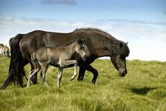 Icelandic Horse (Ragnar TH) Tags: horses horse nature beauty animals landscapes iceland icelandic