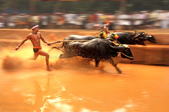 Speed matters (Light and Life -Murali ) Tags: travel india race buffalo mud competition running run farmer moment tradition splash karnataka panning paning tms mangalore oof baradi tellmeastory moodbidri kambala baraadi karnatakaspecial