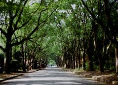 my favorite place (*shinobu) Tags: tree 50mm kyoto kodak f14 olympus 100uc zuiko om1 ultracolor ilovegreen  greentunnel