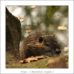 Coipu  ( Myocastor coypus ) (kike.matas) Tags: france nature canon best explore otoo francia legacy potofgold embrujo coth myocastorcoypus coipu fpg topseven abigfave canoneos50d worldbest platinumphoto anawesomeshot colorphotoaward flickraward jacou flickrdiamond mycameraneverlies citrit theunforgettablepictures theperfectphotographer goldstaraward flickrestrellas kikematas natureselegantshots spiritofphotography rubyphotographer thedailypost artofimages lovetheworldofnature exquisiteanimals