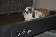 20091217_18 (sensitivebunnyguy) Tags: bunny bunnies netherlanddwarfrabbit cutebunnies santamax cuterabbits cuterabbitphotos cutebunnyphotos nikond5000 lopearrabbits santabunnies santasundae