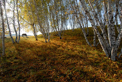 0252 Pony in birch forest--Hebei Province , China (ngchongkin) Tags: china autumn forest niceshot harmony birch shiningstar nationalgeographic favoritephotos 14kgold nikond200 goldheart thegalaxy superphotographer kartpostal anythingyoulike peaceaward anawesomeshot avpa flickrhearts flickraward superhearts flickrbronzeaward crystalawards heartawards eperkeaward betterthangood flickridol flickrestrellas royalawards beautifulaward thebestshot spiritofphotography discoveryphotos qualifiedmembersonly thebestshots grouptripod photographerparadise artofimages angelawards visionaryartsgallery contactaward redmatrix dreamsilldream bestpeopleschoice mygearandme avpaplatinum fireworksofphotos fabulousplanetevo goldstarawardlevel1 flickrbronzetrophy photographyforrecreationgoldaward photographyforrecreationemeraldaward photographyforrecreationsilveraward photographyforrecreationbronzeaward framebangladesh digitographer photohobbylevel1 thethreeangelslevel1 theworldinthemyeyes thenaturalcolorofourworld