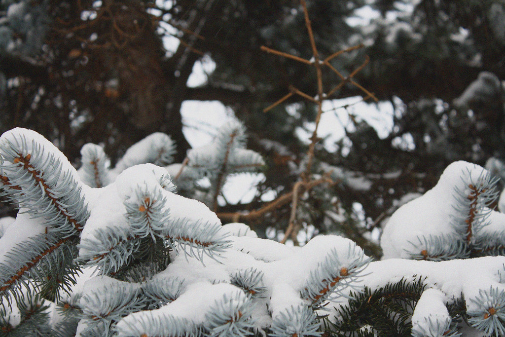 snowy christmas branch
