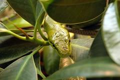 Baumschlange (kurt the animal) Tags: grn auge schlange baumschlange