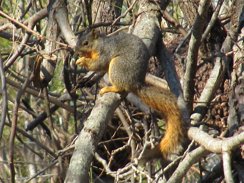 squirrel on Rowlett Creek Trail