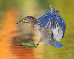 Immature Black-Crowned Night Heron! (JRIDLEY1) Tags: bird fall heron golden wings nikon michigan mywinners abigfave flickrdiamond nikond3 immatureblackcrownednightheron thewonderfulworldofbirds jridley1 jimridley dailynaturetnc09 httpjimridleyzenfoliocom niteheron photocontesttnc10 lifetnc10 jimridleyphotography photocontesttnc11 photocontesttnc12