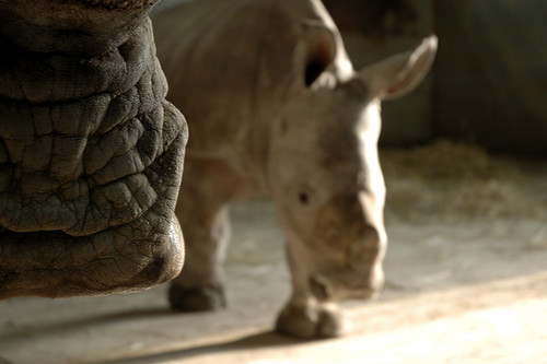 mom snout and baby rhino walking