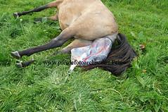 lzmanggeb(164) (Lothar Lenz) Tags: horse caballo cheval cavalo pferd hest equus paard geburt hst fohlen hestur stute konj hobu zirgs mangalargamarchador gangpferd fohlenbeifuss fotopferdefotoarchivdefeige gangpferdezuchtlimbacherhof fohlenfelicidadevonlimbach