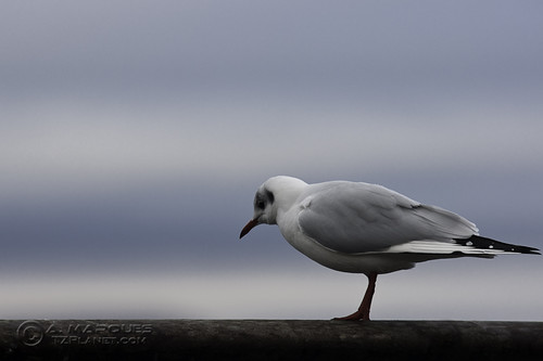 Red Beak Seagull
