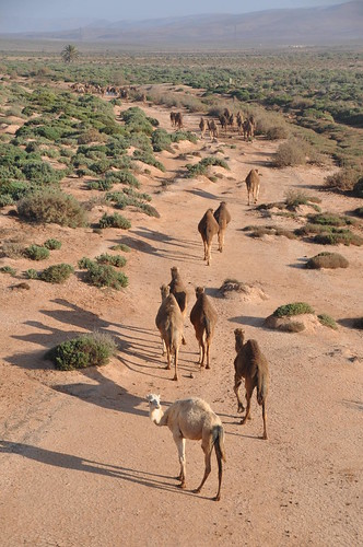 Camel march into the desert