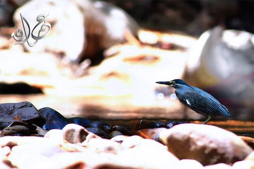 Burung Pucong, Lata Berkoh