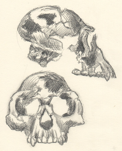 Ardi's skull