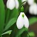 Spring is near! - Snowdrops N1286e by Harris Hui