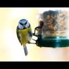 Day 239 of 365 - Blue Tit (Riyazi) Tags: blue food bird tit assignment seeds feed 365 dps threesixtyfive