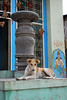 A local street dog in front of an old temple (Adesh Singh) Tags: dog india temple village mobileresearch dharwad dharwar templesofindia hoobli