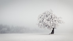 Silence (andywon) Tags: winter white snow tree nature forest germany landscape deutschland schwarzwald blackforest beech schauinsland badenwrttemberg explored stohren wetterbuchen windbuchen weatherbeeches windbeeches gettyimagesgermanyq1