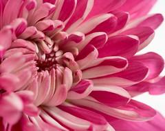 Chrysanthemum Macro (Debbie G) Tags: pink flower macro 2010 bigmomma project365 sigma150mmf28 36538 chrysenthemum 3652010 project36612010