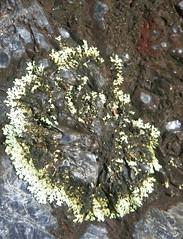LICHEN ON PERLITE (YAZMDG (15,000 images)) Tags: forest landscape moss nsw lichen lush perlite nswrfp arfmoss arflichen yazminamicheledegaye northernriversspecies