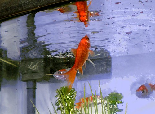 Goldfish (2a)