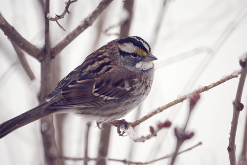 White-striped White-throated Sparrow (Zonotrichia albicollis) Great Backyard Bird Count 2010